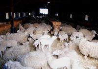 07_schapen_en_lammetjes