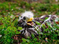 0011_Vaak_vindt_de_klimmer_nog_honingraten_van_de_wesp_in_het_nest